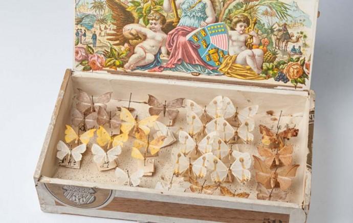 Schmetterlinge in einer Zigarrenkiste aufbewahrt