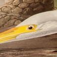Silberreiher mit Krötenechse, aus The Birds of America von John James Audubon