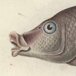 Lutianus Linkii, Aquarell von Friedrich August Krüger jun., vor 1790 (lt. Kupferstich CCXII, 1790)