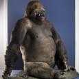 Die Dermoplastik von Gorilla Bobby ist im Museum für Naturkunde ausgestellt