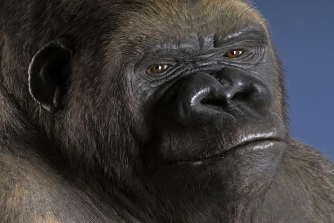 Gorilla Bobby im Museum für Naturkunde, Dermoplastik