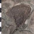 Fossiles Rippenbruchstück des urzeitlichen Reptils Chirotherium
