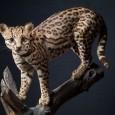 Ozelot, Leopardus pardalis, Präparat von 1934