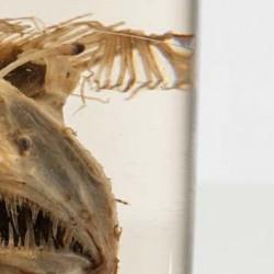 Tiefseeanglerfisch Melanocetus krechi von der Valdivia Expedition, Typusexemplar