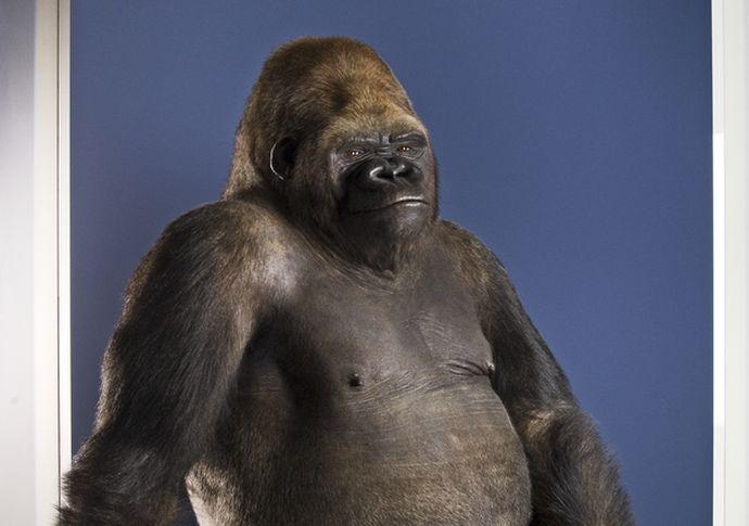 Dermoplastik von Gorilla Bobby im Museum für Naturkunde