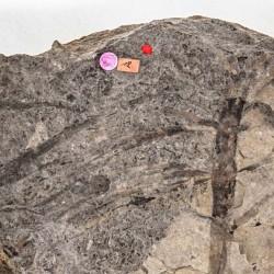 Fossiler Schachtelhalm
