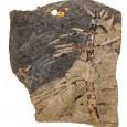 Schachtelhalm-Fossil mit deutlich sichtbaren Blattansätzen an der Pflanzenachse
