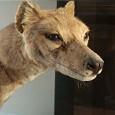 Dermoplastik des Beutelwolfs im Ausstellungssaal Evolution in Aktion