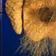 Schaupräparat zur Reproduktionsbiologie eines weiblichen Schnabeligels