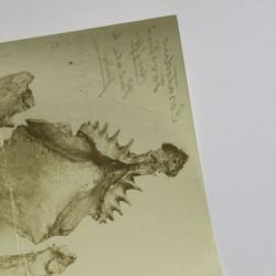 Fotografie des Kiefers von Neoceratodus forsteri