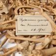 Etikett mit dem lateinischen Namen des Beutelwolfs: Thylacinus cynocephalus
