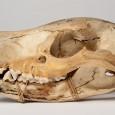 Schädel eines Beutelwolfes. Das Museum verfügt über Material zu circa zehn Beutelwolf-Exemplaren.