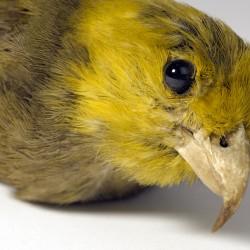 Ou, Psittirostra psittacea von James Cook gesammelt