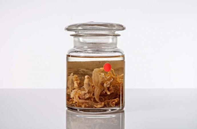 Die Tiefsee-Staatsqualle Bathyphysa abyssorum wurde beim Verlegen eines Tiefseekabels entdeckt