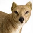 Der Beutelwolf gilt seit den 1930er Jahren als ausgestorben.