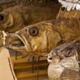 Vor 200 Jahren sammelte Georg Heinrich Langsdorff diese Fische in Japan - heute stehen die Trockenfischpräparate in Berlin
