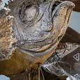 200 Jahre altes Trockenfischpräparat aus der Sammlung Langsdorff. Damals war es für Forscher aus dem Westen sehr schwer, in Japan zu forschen und sammeln, da Japan eine strenge Abschottungspolitik verfolgte.