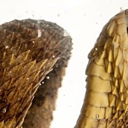Die westafrikanische haarige Buschviper wurde 2002 entdeckt -  erst 2012 wurde ein zweites Exemplar gesichtet.