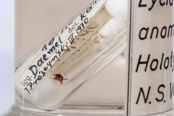 Dieses Pfauenspinnenexemplar kam Ende des 19. Jahrhunderts nach Berlin. In diesen Tagen dient es als Belegexemplar für aktuelle Forschungen in Australien.