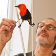 Taxidermist Jürgen Fiebig adds the finishing touches to the specimen.