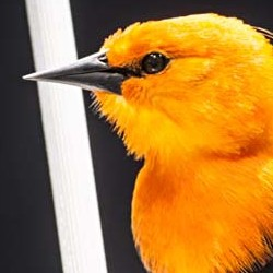 Under the exhibition spotlight, the bird's feathers seem much brighter than its actual, strong orange colour.