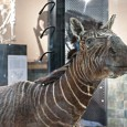Unlike other zebras, the quagga's brown and white stripes were restricted to the front of its body.