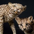 While the taxidermy on the left seems a bit scary, the other one gives visitors a vivid impression of what a live ocelot looks like.