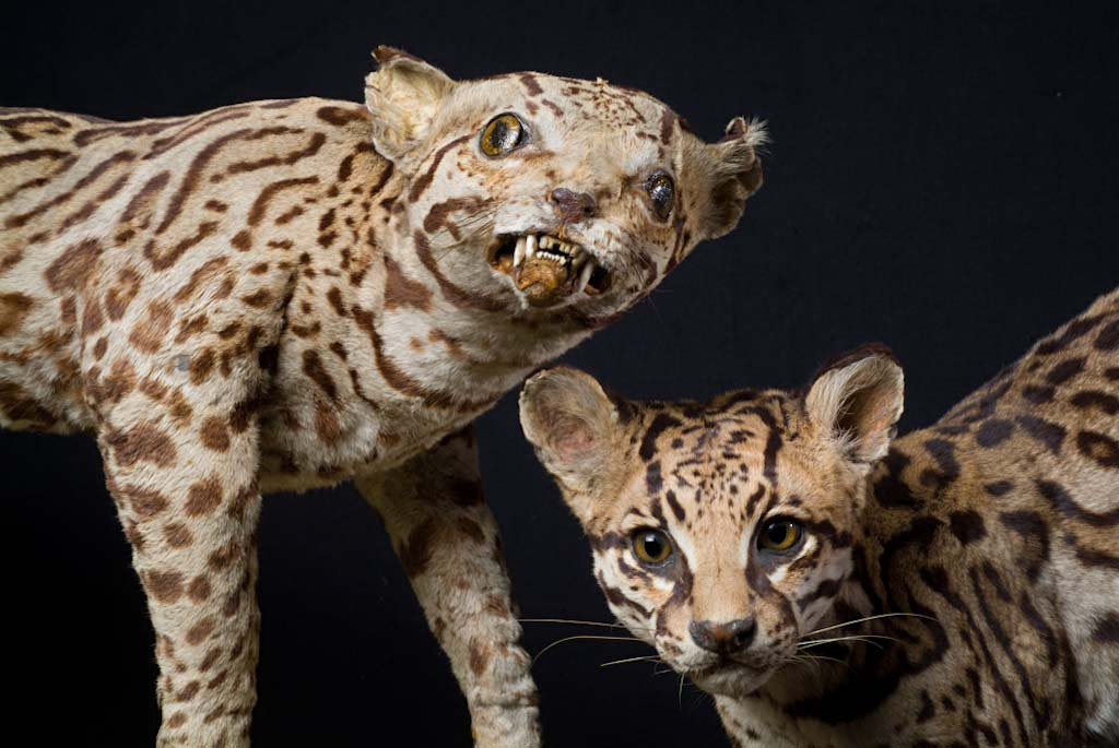 Der Ozelot Leopardus pardalis ist eine in Mittelund Südamerika lebende Raubtierart aus der Familie der Katzen Felidae Er ist der größte und wohl bekannteste Vertreter der Pardelkatzen Leopardus einer auf Amerika beschränkten Gattung kleinerer gefleckter Katzen
