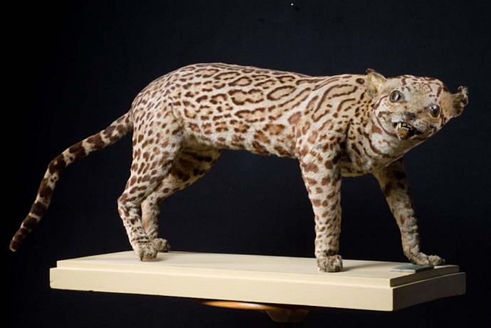 Friedrich Sellow, a german traveller and collector, sent only the ocelot's hide and a few bones from Brazil to Berlin. The taxidermists did the best they could with what they had and tried to imagine the ''real'' shape of the animal...