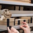 Schädel wie hier der Taiwan-Makak  werden in speziell angefertigten Kartons aufbewahrt.