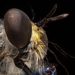 Um ein solch kleines Tier wie diese Raubfliege scharf abbilden zu können, wurden für dieses Bild viele einzelne Aufnahmen übereinander gelegt.