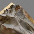 Dieses 3-D-Modell des fossilen Bartenwals Megaptera hubachi ist mithilfe der Photogrammetrie entstanden