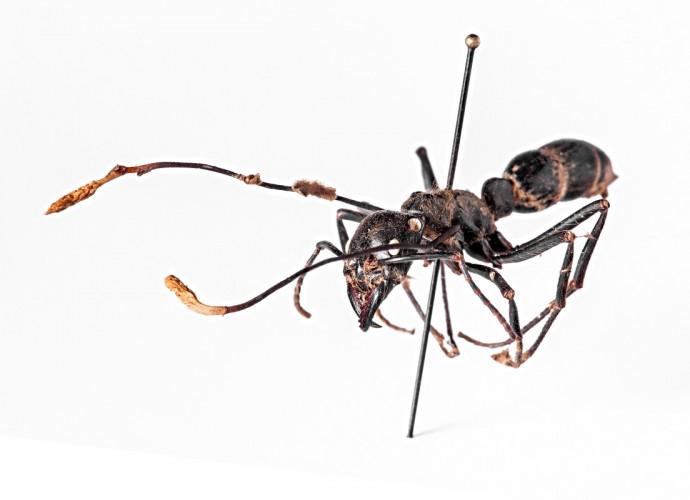 Diese Peruanische Dinosaurier-Ameise ist von einem parasitären Pilz befallen, der sogenannten Kernkeule