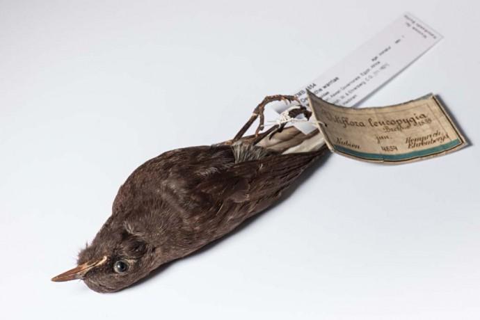 Dieses Steinschmätzer-Präparat wurde bereits 1821 gesammelt und aus dem heutigen Ägypten nach Berlin geschickt. Seinen jetzt gültigen Namen erhielt es jedoch erst 2011, ganze 190 Jahre später.