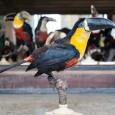 Der Arieltukan an seinem Aufbewahrungsort im Vogelsaal.
