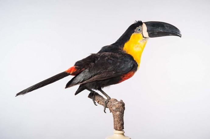 Dieser montierte Tukan ist schon seit fast 200 Jahren in Berlin zu finden. Gesammelt und ans damalige Zoologische Museum gesandt wurde er von dem Brasilienforscher Friedrich Sellow.