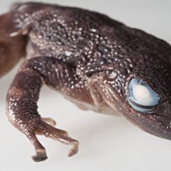 Im Jahr 2014 zeigte sich, dass dieser Zahnfrosch aus Westafrika sich so sehr von anderen Fröschen unterscheidet, dass er nicht nur eine eigene Art oder Gattung, sondern sogar eine eigene Froschfamilie darstellt.