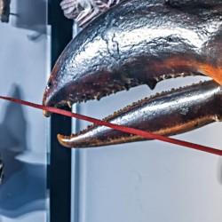 Der Amerikanischer Hummer ist der schwerste Krebs der Welt - bis zu 20 Kilogramm kann so ein Tier wiegen.