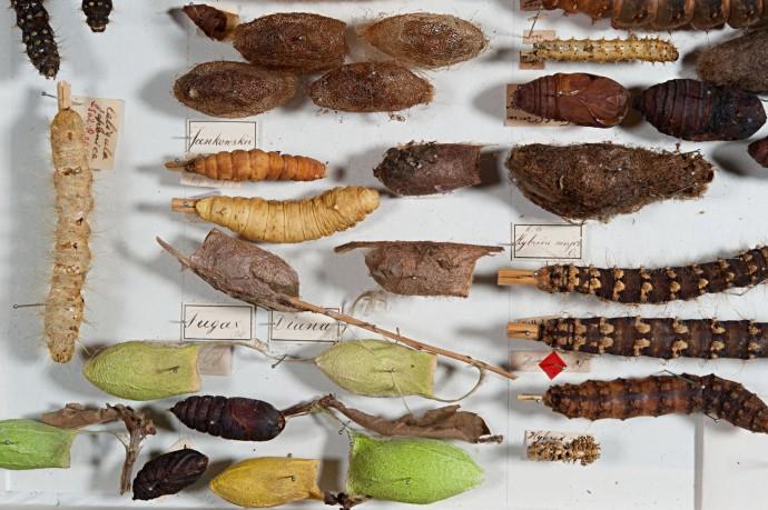 Heute werden Raupen und Puppen meist in Alkohol aufbewahrt, wodurch ihre Färbung verloren geht. Bei diesen aufwendigen, historischen Trockenpräparaten aus der Sammlung Staudingers dagegen ist die Farbe erhalten geblieben.