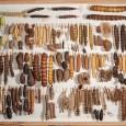 Schmetterlingssammler gibt es viele, Raupensammler nur wenige. Otto Staudinger sammelte diese Raupen und Puppen vor über 100 Jahren.