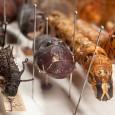 Dank der sorgfältigen Präparation sind die diagnostisch wichtigen Merkmale der Raupen an den Präparaten erhalten. Staudingers Raupen werden daher regelmäßig an Spezialisten verliehen.