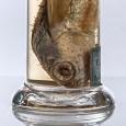 """Chamisso konservierte vor 200 Jahren zwei Exemplare dieses Fliegenden Fisches in """"Weingeist"""". Nur noch dieses eine Exemplar ist bis heute erhalten geblieben."""