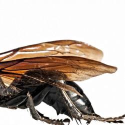 Im Jahr 2012 wurde Megalara garuda erstmals wissenschaftlich beschrieben.