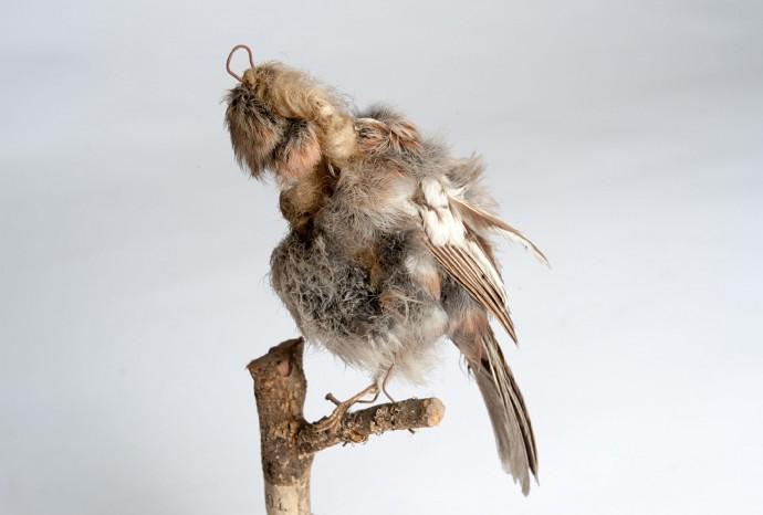Durch die Druckwelle eines Bombeneinschlags am 3. Februar 1945 wurde das Vogelpräparat aus dem Fenster geschleudert und stark beschädigt. Als Typusexemplar behält es (trotzdem) einen hohen Stellenwert für die Forschung.