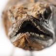 Das große Maul ist gespickt von scharfen Zähnchen. Dennoch ist der Tumbil ein guter Speisefisch.