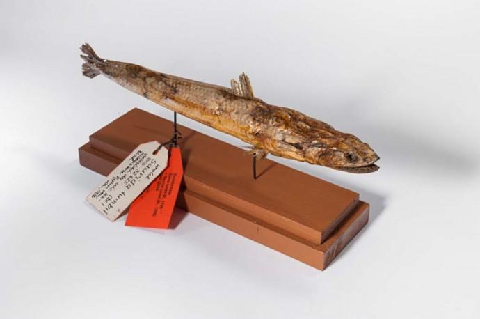 Schon im 18.Jh. stellte dieser Fisch eine globale Herausforderung dar, denn er gelangte in wochenlanger Segelpartie mit dem Schiff von Ostindien bis nach Deutschland.