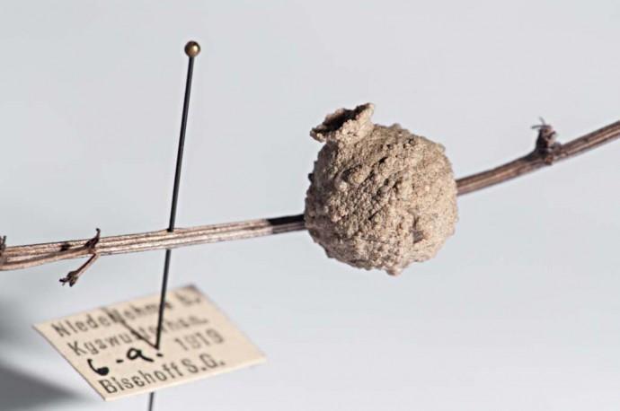 Die Töpferwespe baut für ihren Nachwuchs individuell geformte Brutzellen aus Lehm.