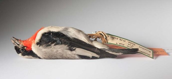 Dieser Balg einer Rubinkehltangare ist wahrscheinlich das einzige erhaltene Präparat dieser Vogelart auf der ganzen Welt.
